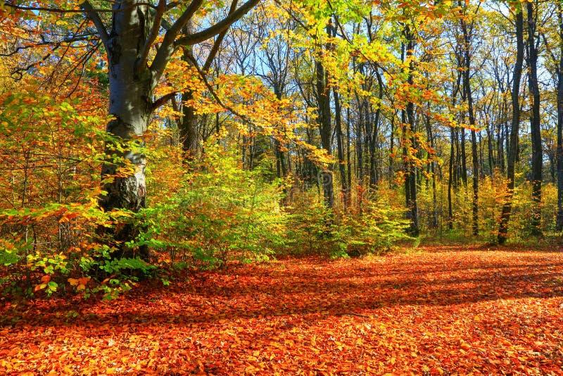 Paisagem ensolarada bonita da floresta com uma árvore e sombras no gramado em um dia do outono fotos de stock royalty free