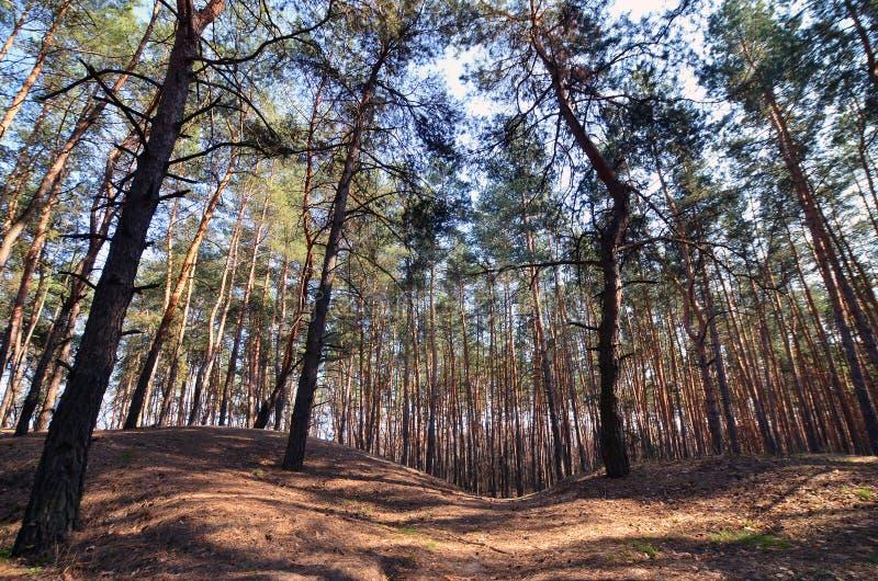 Paisagem ensolarada da mola em uma floresta do pinho na luz solar brilhante Espaço acolhedor da floresta entre os pinhos, pontilh foto de stock