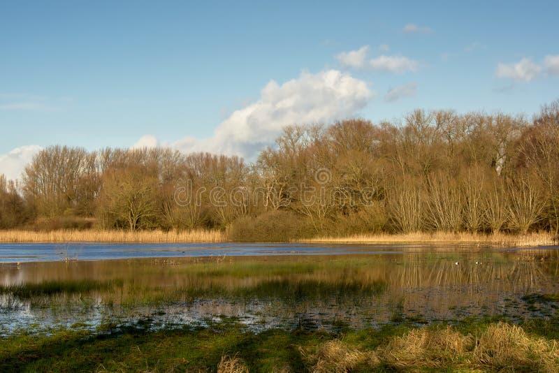 Paisagem ensolarada da região pantanosa do inverno com as árvores de lingüeta e desencapadas que refletem na água imagem de stock