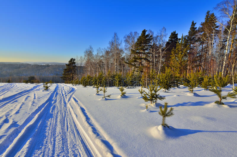 Paisagem ensolarada do inverno com as árvores de Natal verdes novas fotografia de stock royalty free