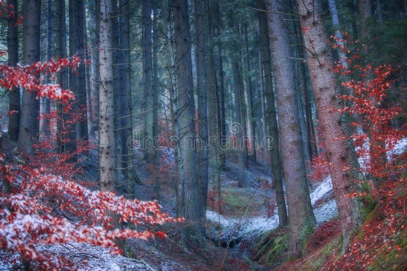 Paisagem escura sombrio mágica da floresta com as árvores de faia vermelha brilhantes, imagem de stock royalty free