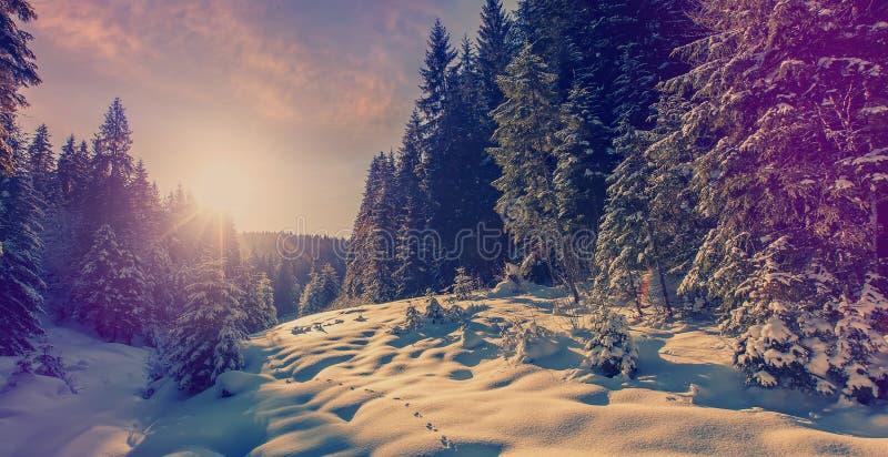 Paisagem fant?stica da floresta do inverno no por do sol Glowin nevado gelado dos abeto na luz solar Conceito do feriado de inver fotografia de stock