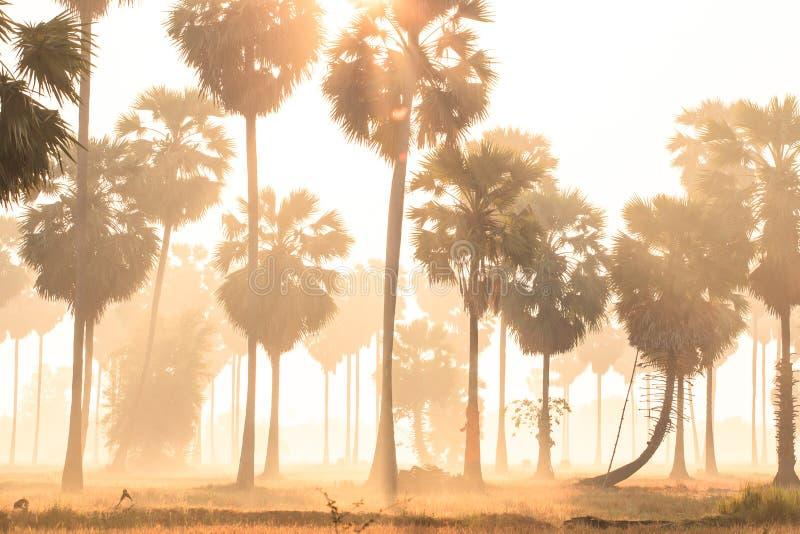 A paisagem fantástica das palmeiras e do campo na luz da manhã, nascer do sol dourado brilha para baixo em torno das palmas e da  imagem de stock