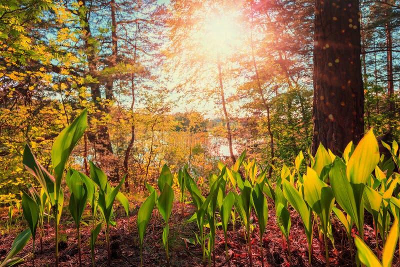 Paisagem fantástica o lírio sae da luz solar maravilhoso, fabuloso, por do sol fotografia de stock royalty free