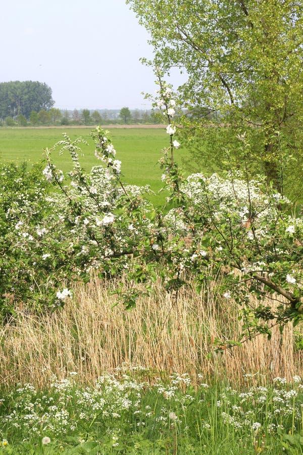 A paisagem holandesa com árvores de fruto floresce, Betuwe.NL fotos de stock royalty free