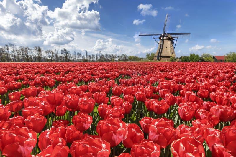 Paisagem holandesa do moinho de vento dos Tulips fotografia de stock