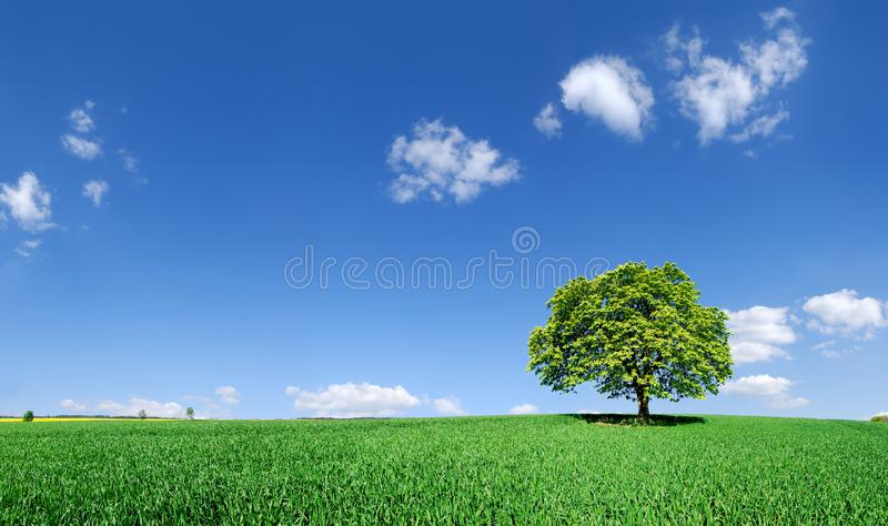 Paisagem idílico, árvore só entre campos verdes foto de stock royalty free