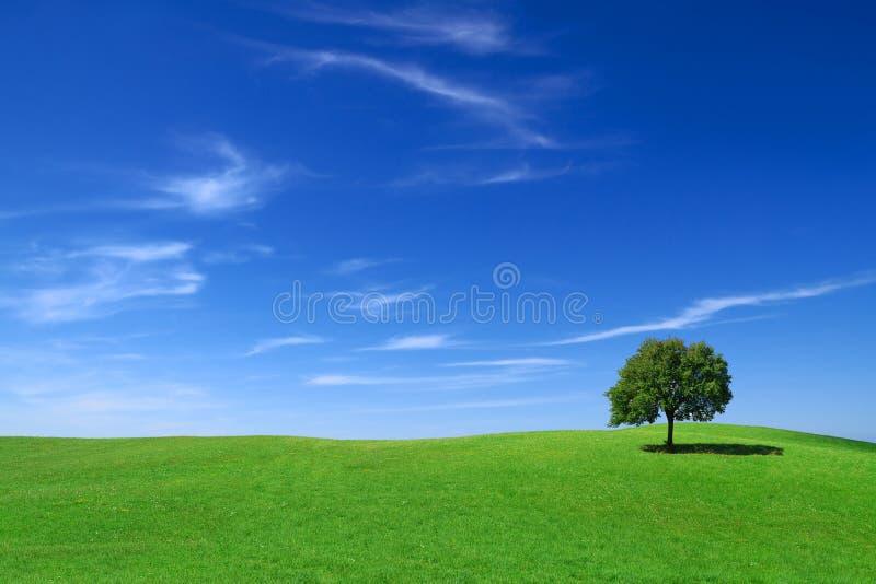 Paisagem idílico, árvore só entre campos verdes imagens de stock royalty free