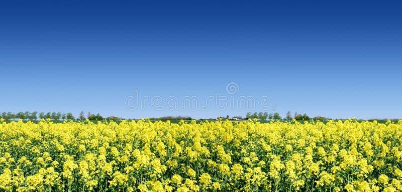 Paisagem idílico, campos amarelos da couve-nabiça imagem de stock royalty free