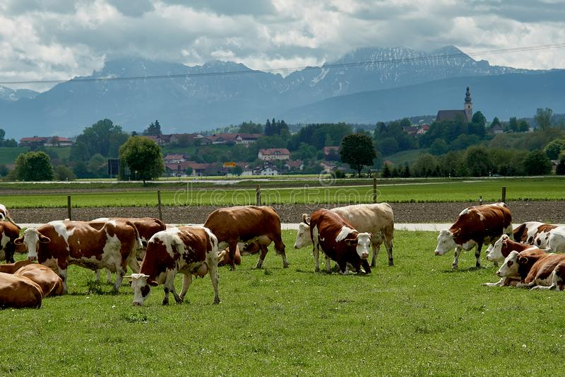 Paisagem idílico na frente dos cumes com vacas foto de stock