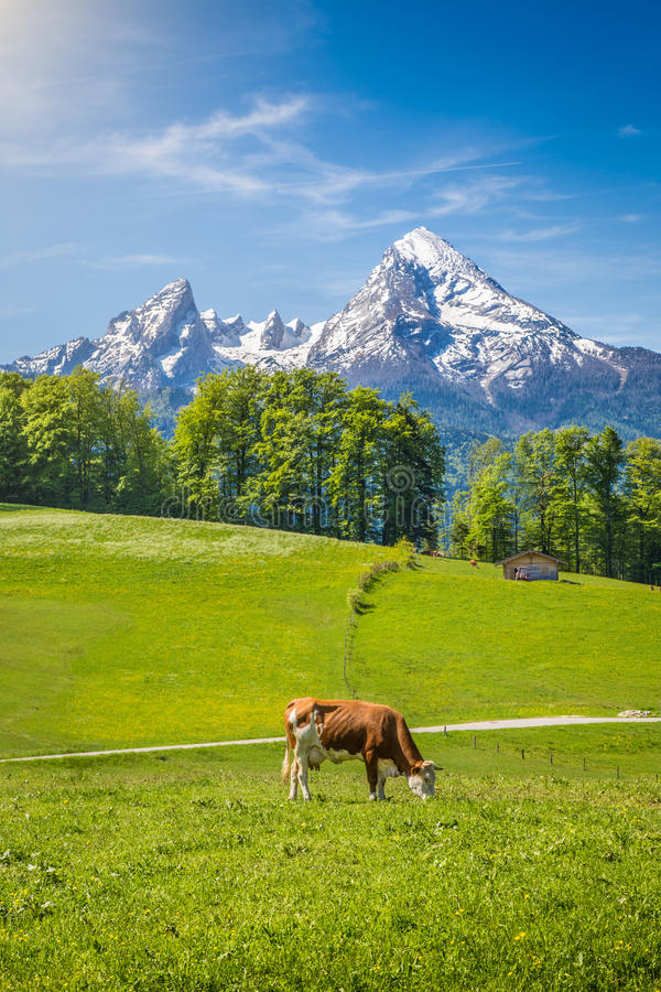 A paisagem idílico nos cumes com a vaca que pasta na montanha verde fresca pasta foto de stock