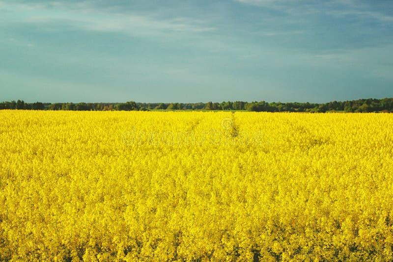 Paisagem incrível com um campo amarelo do rabanete em um dia ensolarado contra o céu azul com nuvens imagem de stock