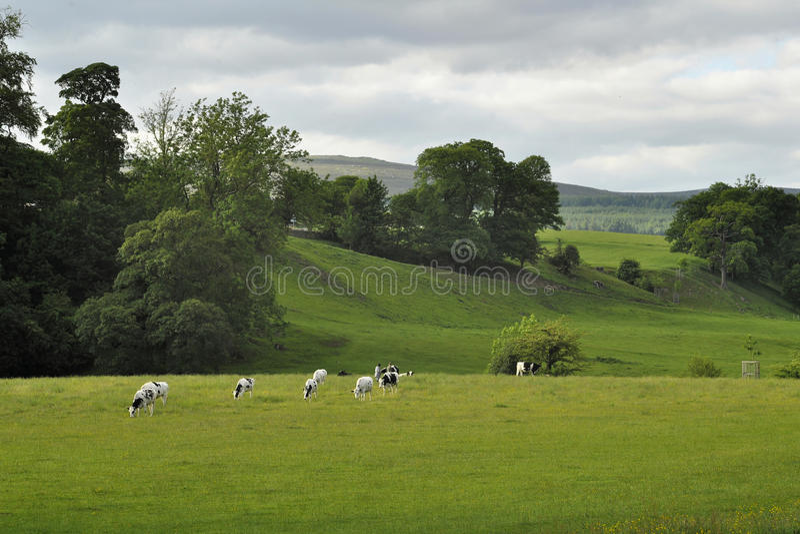 Paisagem Inglesa Do Campo: Montes, Fuga, Vacas Foto de Stock Royalty Free