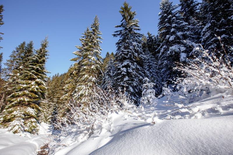 Paisagem invernal maravilhosa ?rvores gelados da floresta da montanha do inverno sob a luz solar morna cen?rio pitoresco da natur imagens de stock