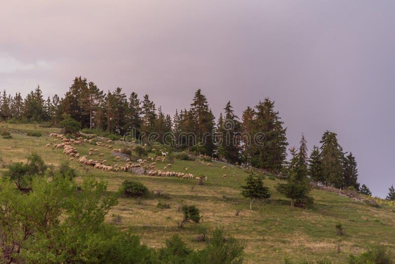 Paisagem irlandesa bonita da montanha na mola com carneiros imagem de stock
