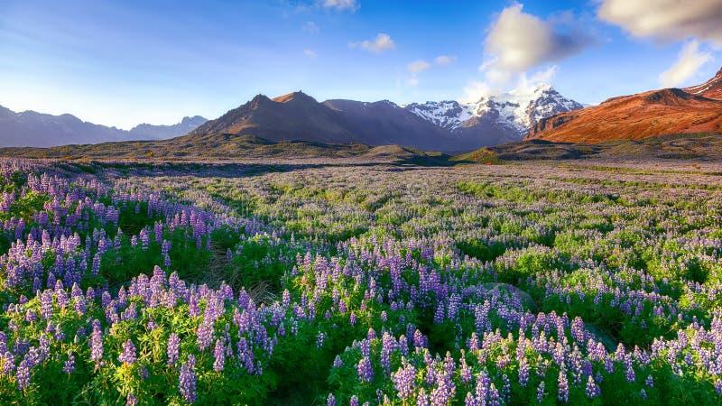 A paisagem island?sa t?pica com campo do lupine de floresc?ncia floresce fotos de stock royalty free