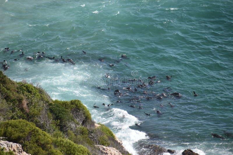 Paisagem maravilhosa com muitos selos na fuga de caminhada na reserva natural de Robberg na baía de Plettenberg, África do Sul imagem de stock