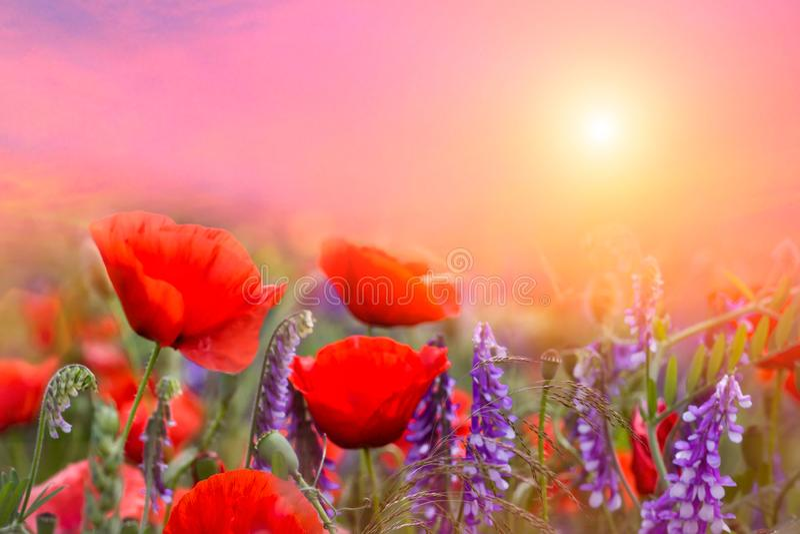 Paisagem maravilhosa do verão com as flores azuis e vermelhas das papoilas nuvens nublado majestosas no céu Paisagem natural boni imagem de stock