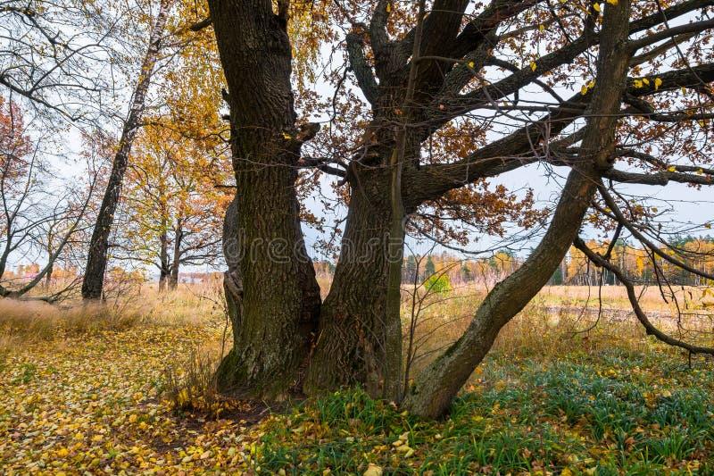 Paisagem melancólica do outono Fragmento do carvalho velho quase leafless no campo de desvanecimento em uma noite nebulosa fotos de stock royalty free