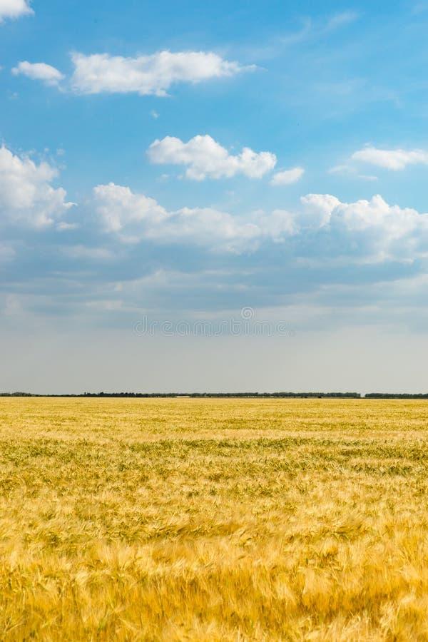 Paisagem natural com campo de trigo amarelo sob o céu azul imagens de stock royalty free