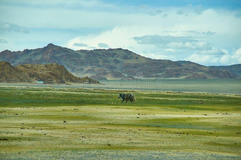 Paisagem natural de pastar iaques, Mongólia imagem de stock
