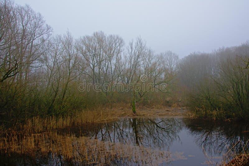 Paisagem nevoenta da região pantanosa com árvores desencapadas e o junco que refletem na água fotografia de stock