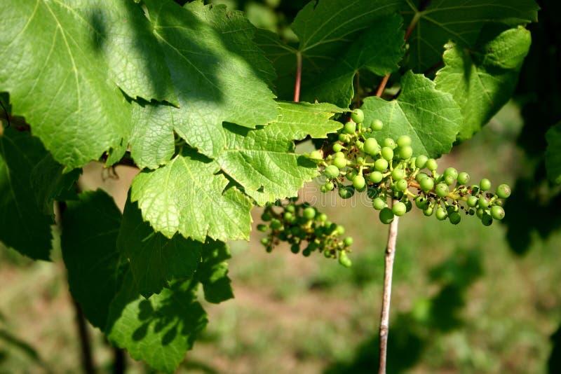 Paisagem nova das uvas imagem de stock royalty free