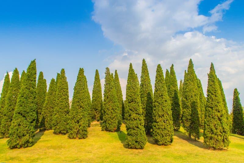 Paisagem pequena bonita do monte com os pinheiros altos no campo de grama verde e no fundo branco da nuvem do céu azul Juniperus  imagem de stock