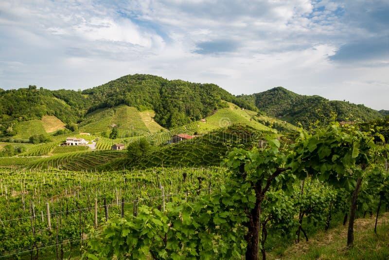 A paisagem pitoresca completamente dos vinhedos em torno da cidade de V fotos de stock