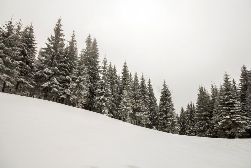 Paisagem preto e branco do Natal do ano novo da montanha do inverno Pinheiros altos cobertos com a geada na neve clara profunda n fotografia de stock royalty free