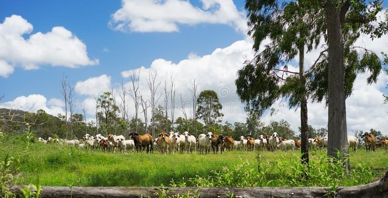Paisagem rural australiana com o rebanho de gados bovinos fotos de stock royalty free