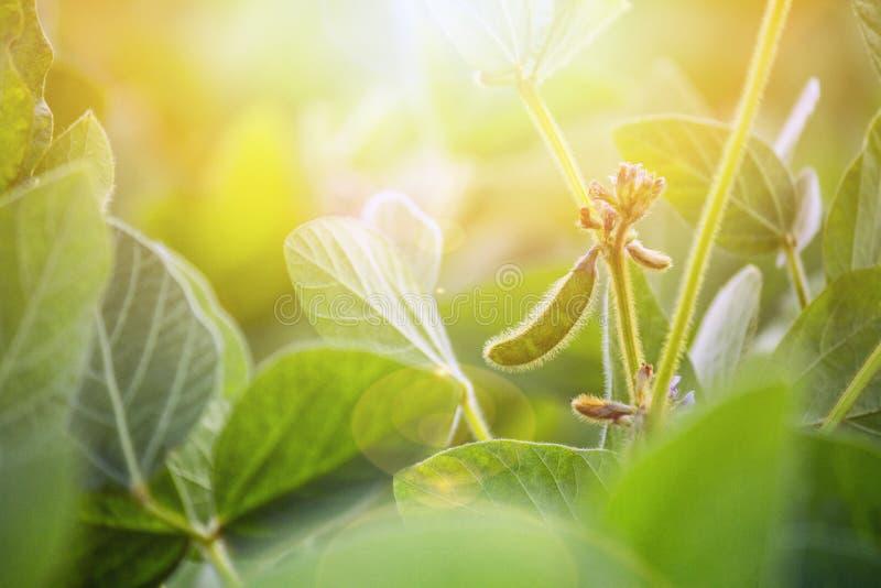 Paisagem rural - coloque a glicina do feijão de soja máxima no sol do verão dos raios foto de stock