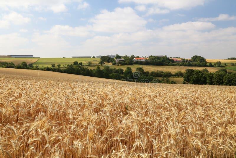 Paisagem rural com campos amarelos do trigo maduro imagens de stock royalty free