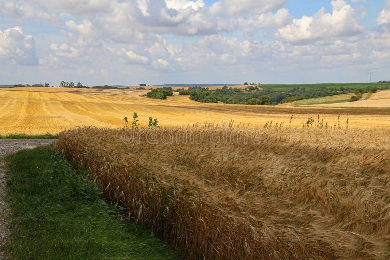 Paisagem rural com campos amarelos do trigo maduro imagens de stock