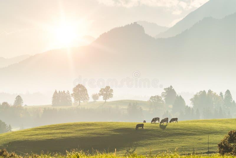 Paisagem rural com vacas imagem de stock