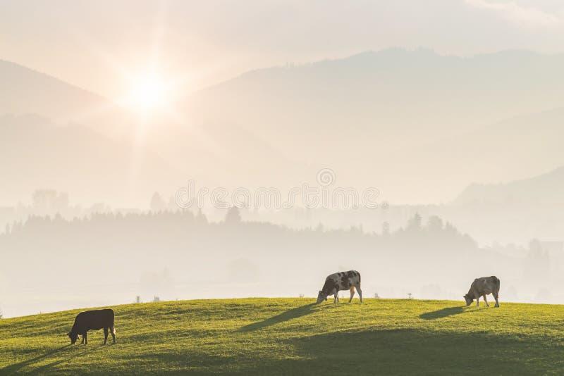 Paisagem rural com vacas foto de stock