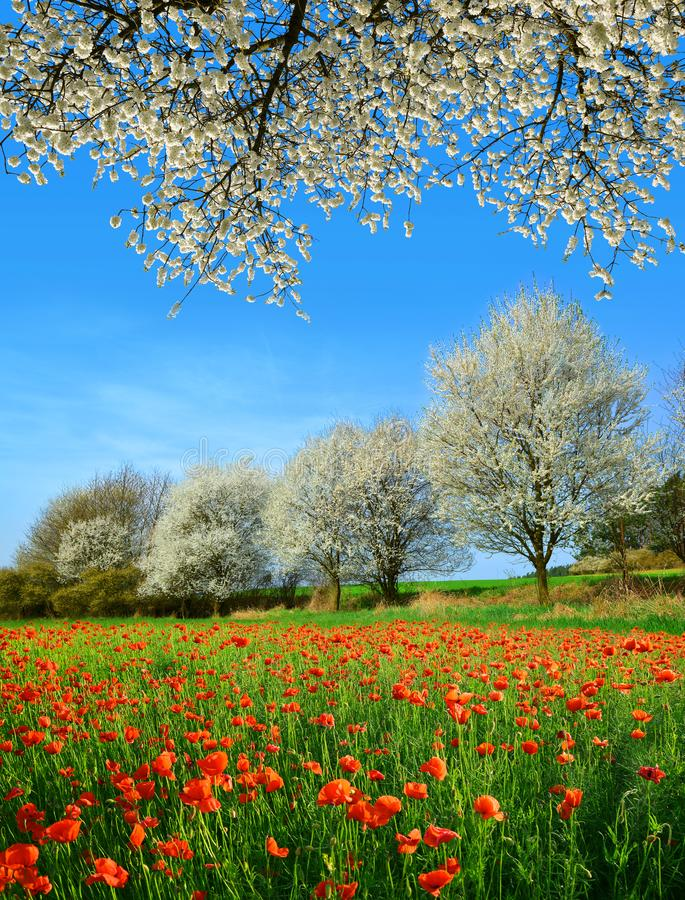 Paisagem rural da mola com campo e as árvores de florescência da papoila no dia ensolarado imagens de stock royalty free