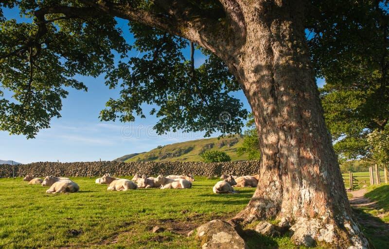 Paisagem rural, distrito do lago, Reino Unido imagem de stock royalty free