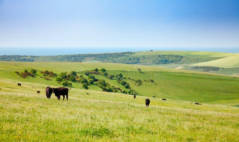Paisagem rural inglesa dentro com pastagem do catt da carne de Aberdeen Angus fotos de stock
