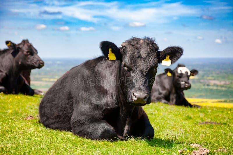 Paisagem rural inglesa dentro com pastagem do catt da carne de Aberdeen Angus fotos de stock royalty free