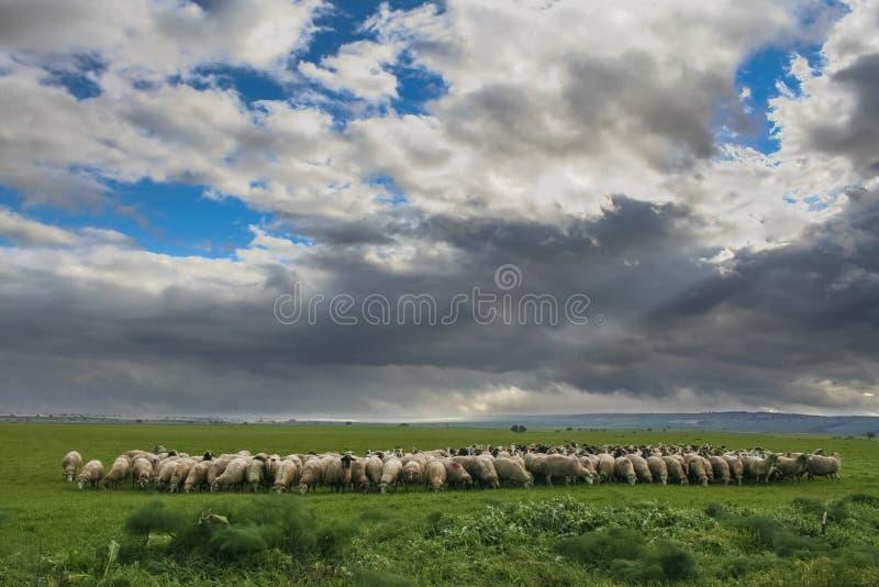 Paisagem rural montanhosa: Alta Murgia National Park Rebanho dos carneiros e das cabras que pastam em um dia de inverno sombrio I fotos de stock