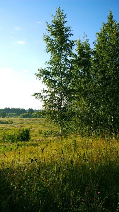 Paisagem rural rústica bonita das árvores de vidoeiro e a grama, os campos, e a floresta no fundo fotos de stock