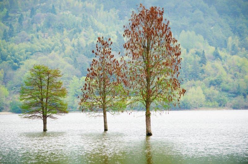 Paisagem só inundada de três árvores na primavera Água lisa foto de stock royalty free
