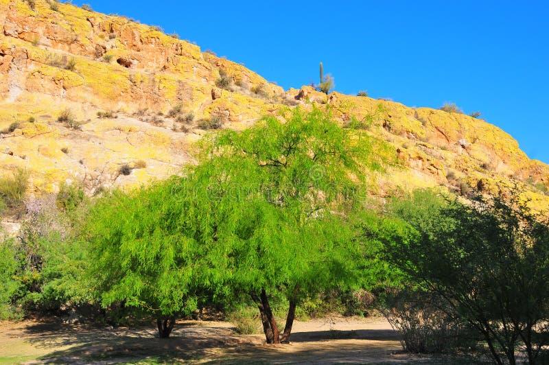 Paisagem Salt River Palo Verde Trees do deserto, líquene na rocha fotografia de stock
