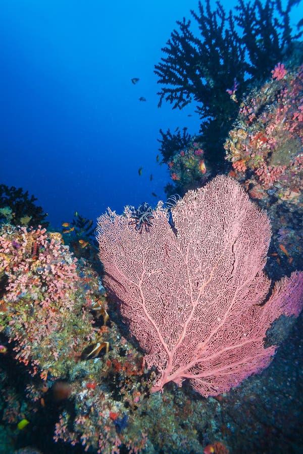 Paisagem subaquática com coral vermelho do fã imagens de stock royalty free