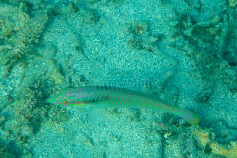 Paisagem subaquática do mundo de Coral Reef e dos peixes tropicais imagem de stock