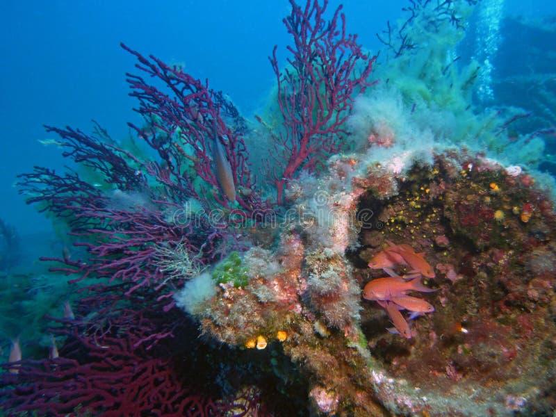 Paisagem subaquática mediterrânea, peixes e gorgonians fotografia de stock royalty free