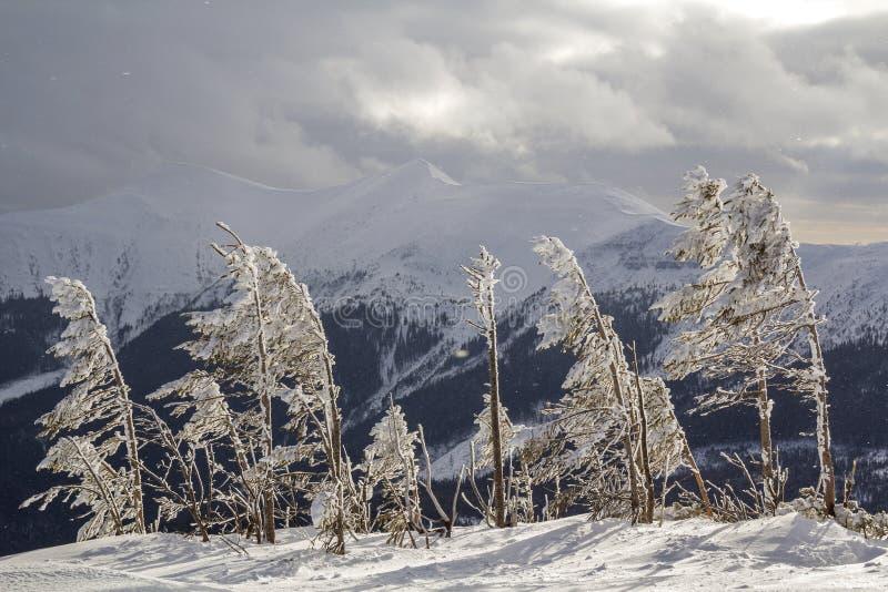 Paisagem surpreendente bonita do inverno Árvores novas pequenas cobertas com a neve e a geada no dia ensolarado frio no fundo do  fotografia de stock