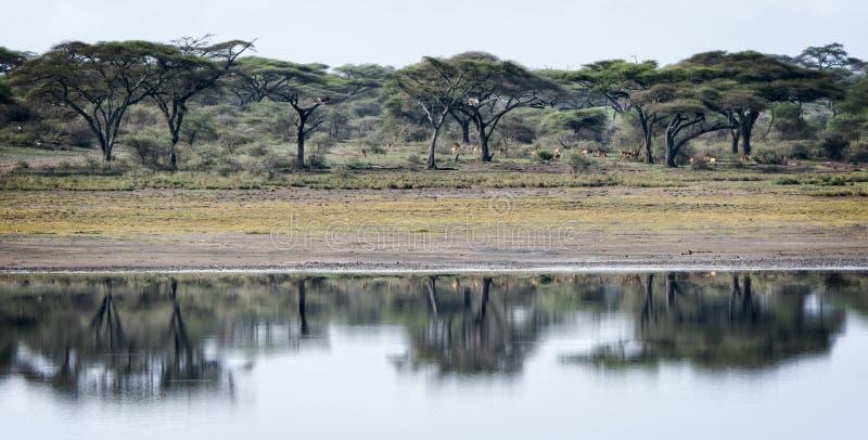 Paisagem tanzaniana com árvores da acácia, água, reflexão, imagem de stock