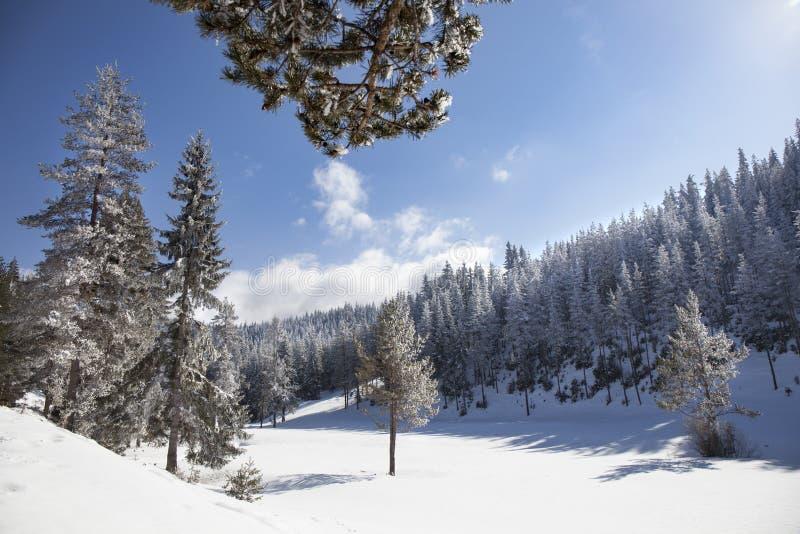 Paisagem tranquilo da floresta do pinho do inverno imagens de stock royalty free
